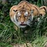 Prowling Tiger 99